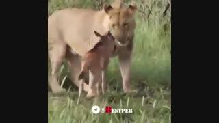 پرورش یک آهو توسط یک شیر... حاصل چند ماه فیلمبرداری مخفیانه