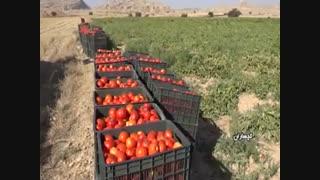 نبود مشتری مشکل گوجه فرنگی کاران شهرستان گچساران