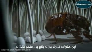 انتشار کک از حیوانات خانگی - مایع کشنده قوی کک
