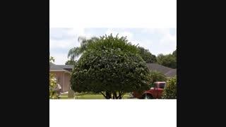 برش قارچی شکل  درخت