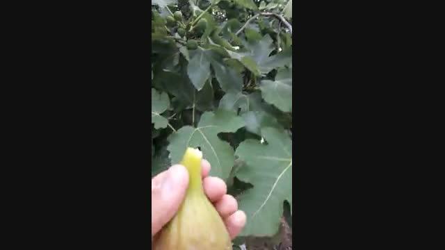 نهال انجیر گلابی سه فصل ( نهالستان و گلخانه فروزانی)