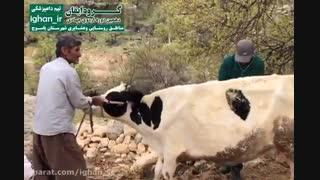 فعالیت های تیم دامپزشکی گروه جهادی ایقان در اردوی شهرستان یاسوج